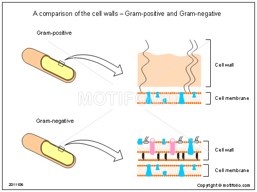 A comparison of the cell walls - Gram-positive and Gram-negative , PPT PowerPoint drawing diagrams, templates, images, slides