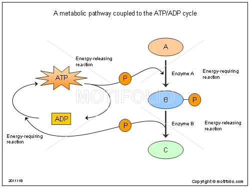 A metabolic pathway coupled to the ATP ADP cycle, PPT PowerPoint drawing diagrams, templates, images, slides