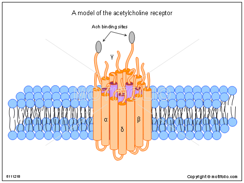 A model of the acetylcholine receptor, PPT PowerPoint drawing diagrams, templates, images, slides