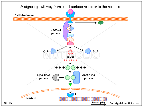 A signaling pathway from a cell surface receptor to the nucleus keywords a signaling pathway from a cell surface receptor to the nucleus illustrationfiguredrawingdiagramimage ccuart Image collections