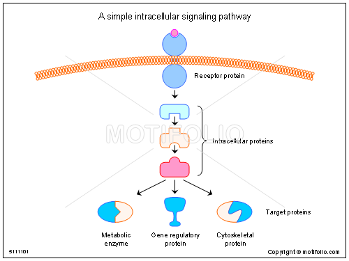 simple intracellular signaling pathway, PPT PowerPoint drawing ...