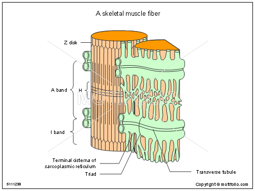 A skeletal muscle fiber, PPT PowerPoint drawing diagrams, templates, images, slides