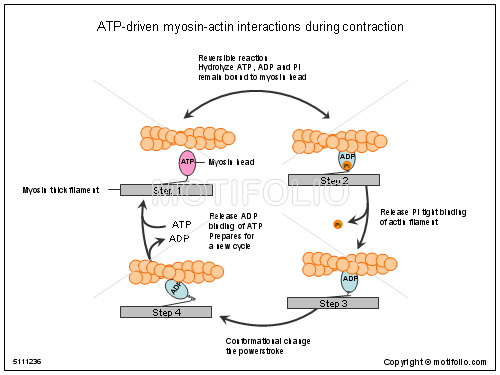 ATP-driven myosin-actin interactions during contraction PPT ...