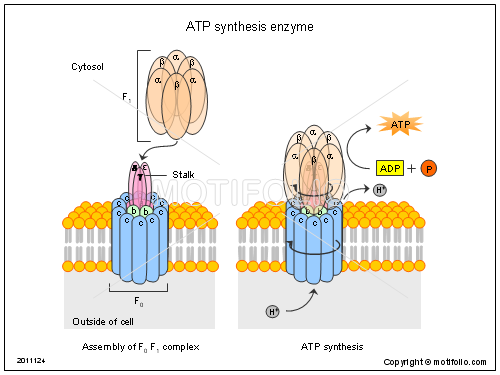 ATP synthesis enzyme, PPT PowerPoint drawing diagrams, templates, images, slides