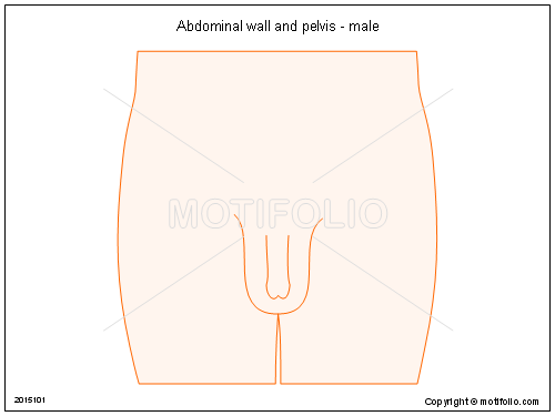 Abdominal    wall and    pelvis        male    Illustrations