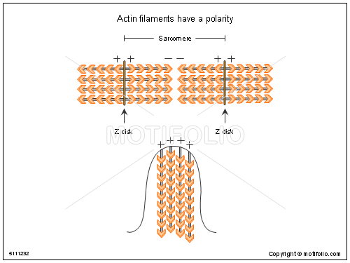 Actin filaments have a polarity, PPT PowerPoint drawing diagrams, templates, images, slides