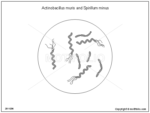 list of synonyms and antonyms of the word  spirillum diagram