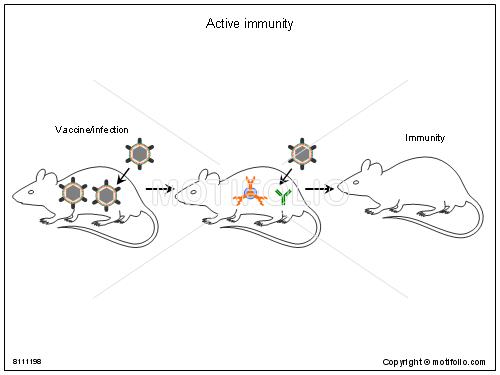 active immunity illustrations