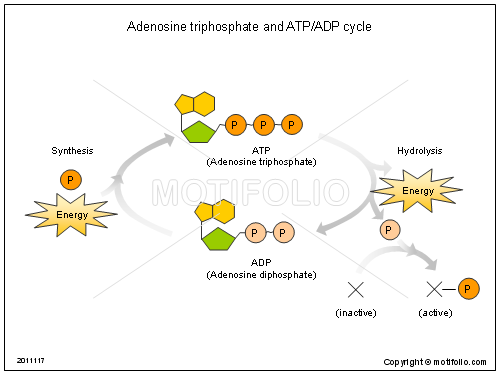 Adenosine triphosphate and ATP ADP cycle, PPT PowerPoint drawing diagrams, templates, images, slides