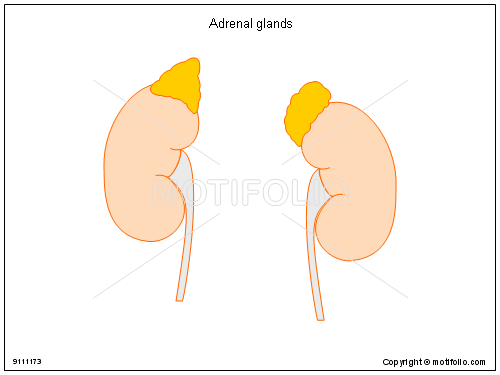 Adrenal Glands Illustrations