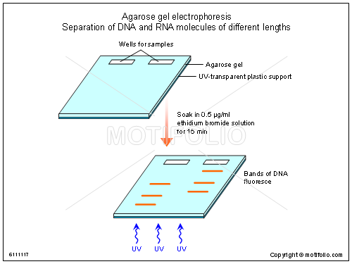introductory gel electrophoresis essay Analysing dyes through gel electrophoresis essay sample pages: 11 which in turn affected how fast they were able to move through the gel introduction.