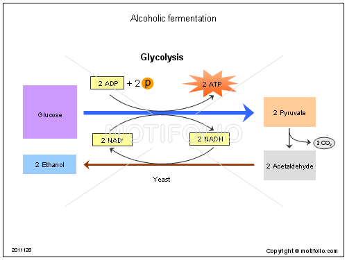 Alcoholic fermentation, PPT PowerPoint drawing diagrams, templates, images, slides