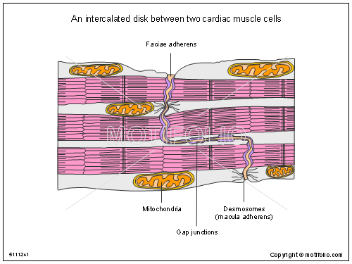 molecular cell biology powerpoint presentations, templates, images, Muscles