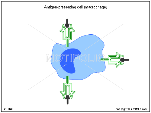 Antigen-presenting cell macrophage, PPT PowerPoint drawing diagrams, templates, images, slides