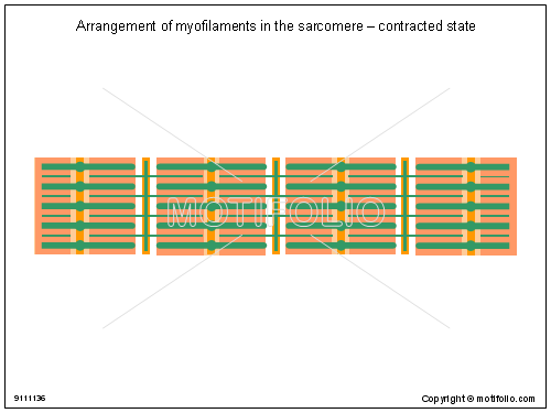 Arrangement of myofilaments in the sarcomere - contracted state, PPT PowerPoint drawing diagrams, templates, images, slides