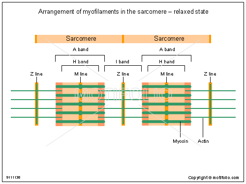 Arrangement of myofilaments in the sarcomere - relaxed state, PPT PowerPoint drawing diagrams, templates, images, slides