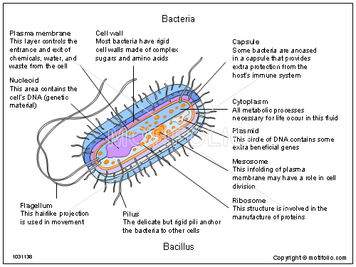 Bacteria, PPT PowerPoint drawing diagrams, templates, images, slides