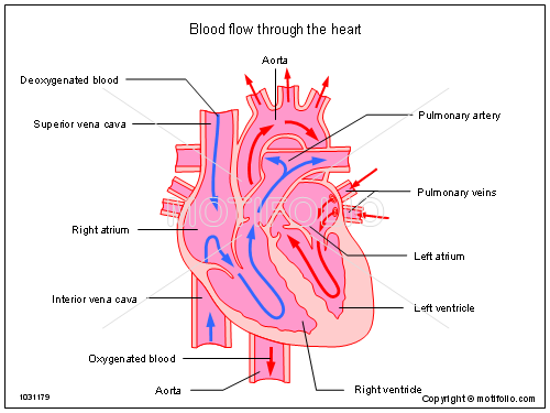 blood flow through the heart ppt powerpoint drawing diagrams,