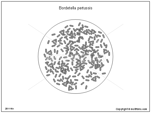 bordetella pertussis illustrations