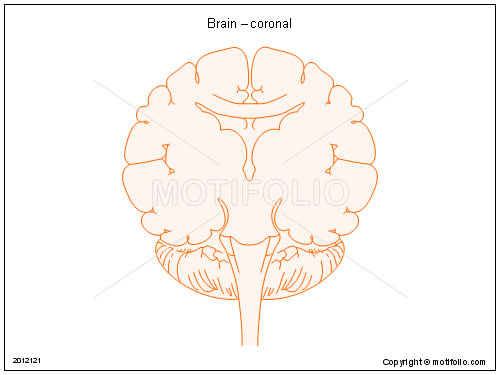 Brain – coronal, PPT PowerPoint drawing diagrams, templates, images, slides