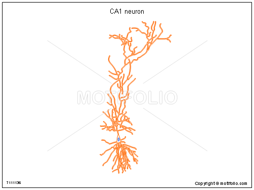 CA1 neuron, PPT PowerPoint drawing diagrams, templates, images, slides