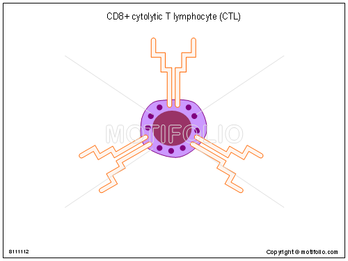 CD8 cytolytic T lymphocyte CTL, PPT PowerPoint drawing diagrams, templates, images, slides