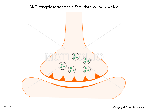 CNS synaptic membrane differentiations - symmetrical, PPT PowerPoint drawing diagrams, templates, images, slides