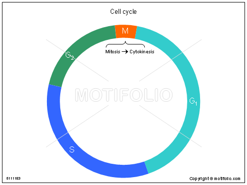 Cell cycle illustrations cell ccuart Choice Image