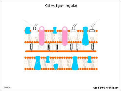 Cell Wall Gram Negative Illustrations