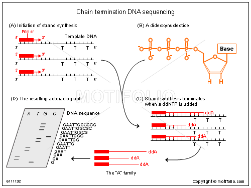Chain termination DNA sequencing, PPT PowerPoint drawing diagrams, templates, images, slides