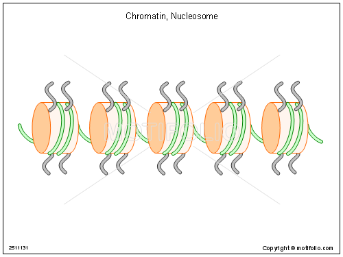chromatin nucleosome ppt powerpoint drawing diagrams templates  : chromatin diagram - findchart.co