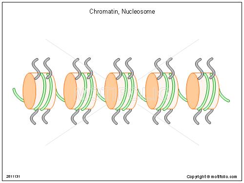 chromatin nucleosome illustrations