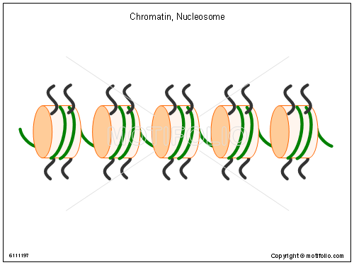 Chromatin Nucleosome, PPT PowerPoint drawing diagrams, templates, images, slides