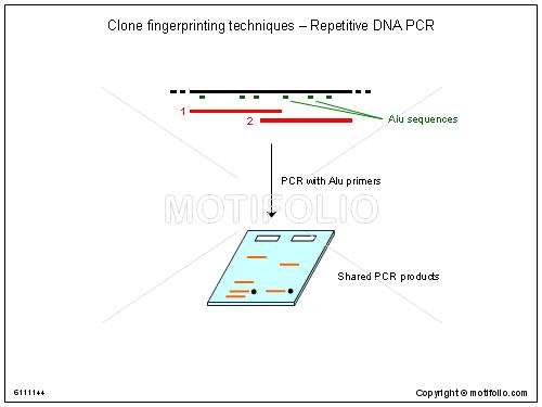 Clone fingerprinting techniques repetitive dna pcr illustrations clone title clone fingerprinting techniques repetitive dna pcr ccuart Images