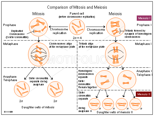 Comparison of mitosis and meiosis illustrations comparison title comparison of mitosis and meiosis ccuart Images