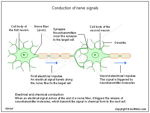 Conduction of nerve signals illustrations keywords conduction of nerve signals illustrationfiguredrawingdiagram image ccuart Image collections