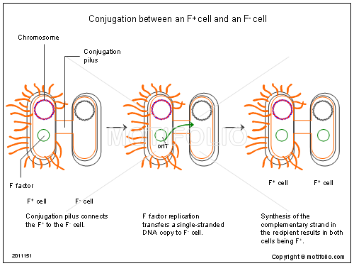 Conjugation between an F+ cell and an F- cell, PPT PowerPoint drawing diagrams, templates, images, slides