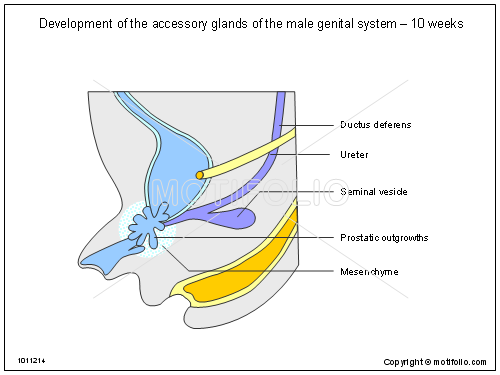Development Of The Accessory Glands Of The Male Genital System 10