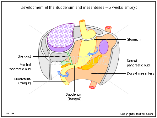 embryos at 5 weeks. 5 weeks embryo