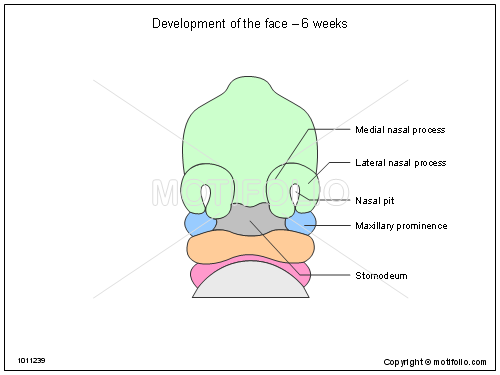 Development Of The Face 6 Weeks Illustrations