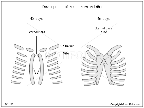 Development of the sternum and ribs, PPT PowerPoint drawing diagrams, templates, images, slides