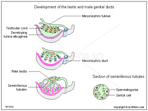 Development Of The Testis And Male Genital Ducts Illustrations