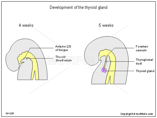 Development of the thyroid gland, PPT PowerPoint drawing diagrams, templates, images, slides