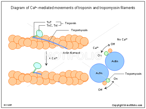Diagram of Ca2-mediated movements of troponin and tropomyosin filaments, PPT PowerPoint drawing diagrams, templates, images, slides