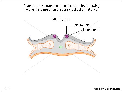 Diagrams of transverse sections of the embryo showing the origin and migration of neural crest cells - 19 days, PPT PowerPoint drawing diagrams, templates, images, slides