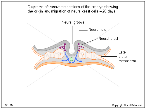Diagrams of transverse sections of the embryo showing the origin and migration of neural crest cells - 20 days, PPT PowerPoint drawing diagrams, templates, images, slides