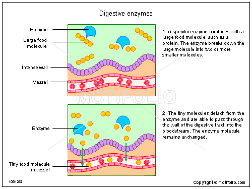 Digestive Enzymes Illustrations