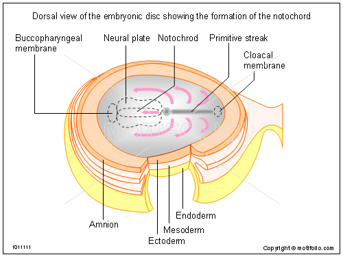 Dorsal view of the embryonic disc showing the formation of the notochord, PPT PowerPoint drawing diagrams, templates, images, slides