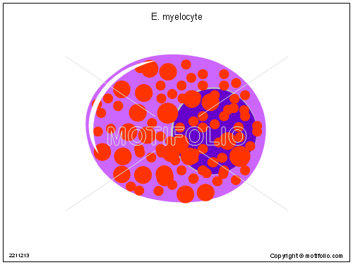 E myelocyte, PPT PowerPoint drawing diagrams, templates, images, slides
