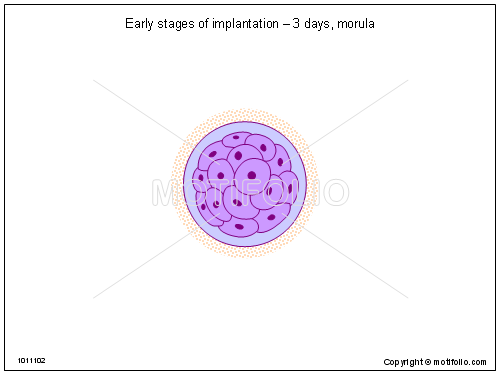Early stages of implantation - 3 days morula, PPT PowerPoint drawing diagrams, templates, images, slides